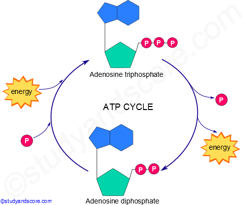 Atp Cycle Structure And Role Of Atp In Biological Reactions