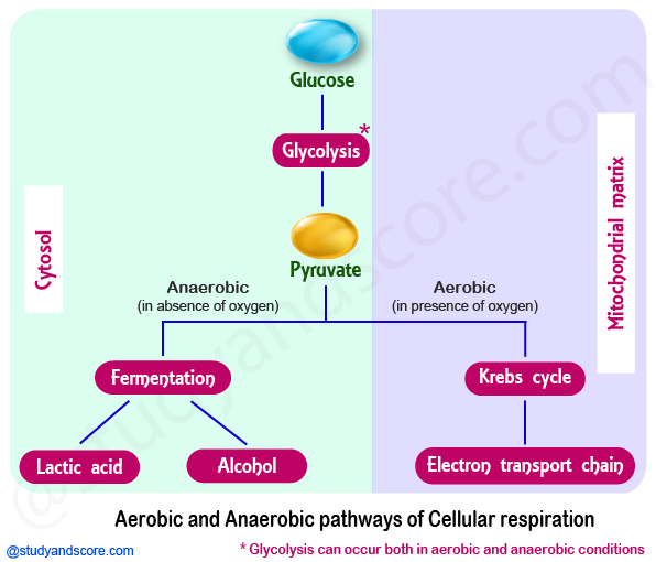 Glycolysis, aerobic reactions, anaerobic reactions, metabolism, glycolysis steps
