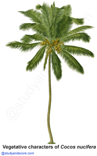 palm family, arecaceae, coconut tree, cocos nucifera, palmae, free notes