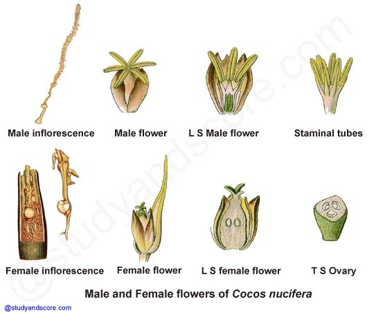 arecaceae palmae general characters distribution. Black Bedroom Furniture Sets. Home Design Ideas