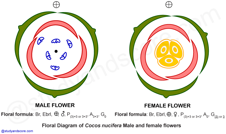Arecaceae palmae general characters distribution important palm family arecaceae coconut tree cocos nucifera palmae free notes ccuart Gallery