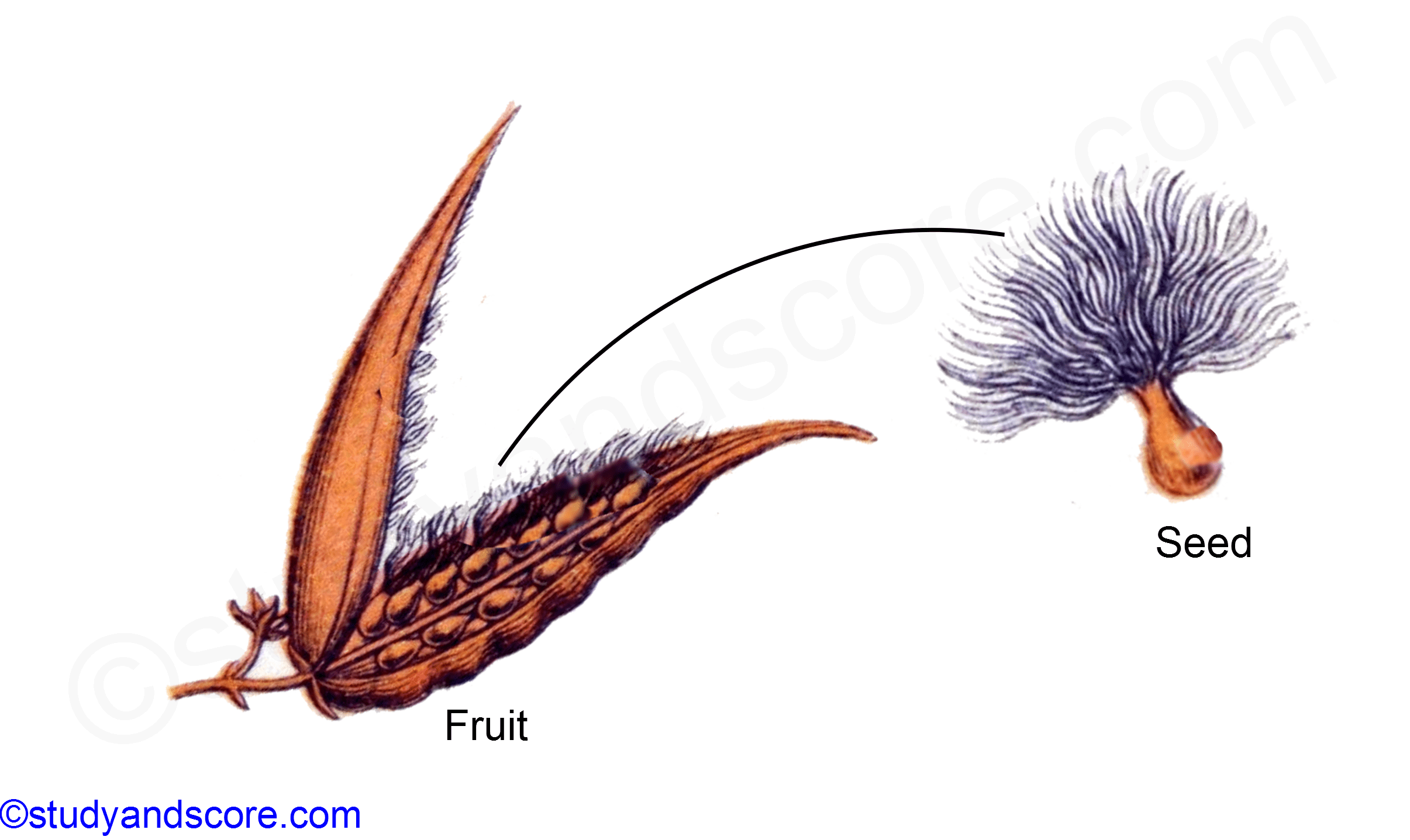 asclepiadaceae, fruit and seed of ascleppias, asclepias