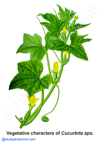 cucurbitaceae, vegetative characters, cucurbita, cucumber, pumpkin family