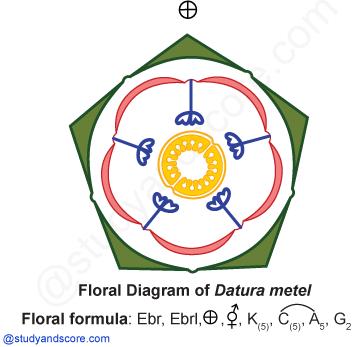 Solanaceae general characters distribution important plants floral diagram solanaceae datura floral formula ccuart Gallery