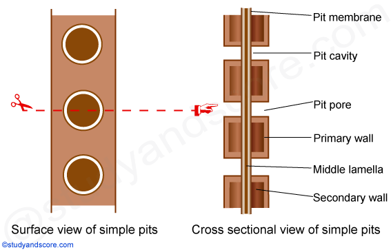 simple pits, pit cavity, pit membrane, pit pore, middle lamellae, secodary cell wall, primary cell wall
