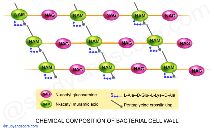 Chemical composition of bacterial cell wall, NAM, NAG, Pentaglycine crosslinking, N-acetyl glucosamine, N-acetyl muramic acid
