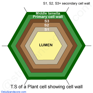 cell wall ultrastructure primary cell wall vs secondary cell wall