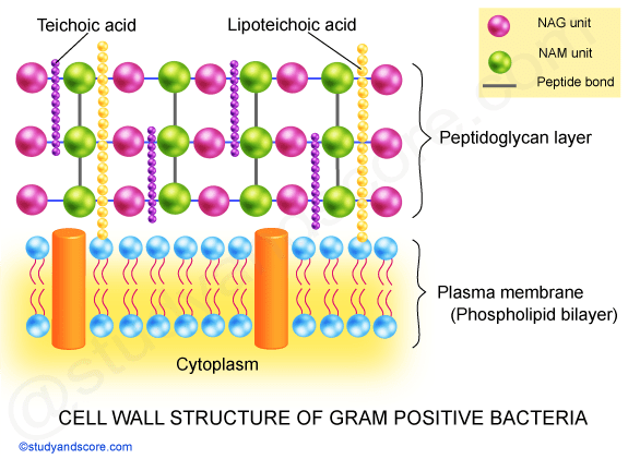 gram positive bacteria, negative bacteria, cell wall, lipoteichoic acid, NAG units, NAM, peptidoglycan layer