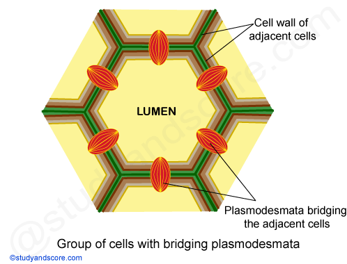 Plasmodesmata, cell wall of adjacent cells, lumen, cell