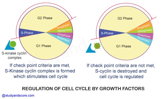Cell cycle regulation, control of cell division, telomeres, Cyclin-Dependent Kinasesn growth factors, Cell cycle check points, G1 phase, G2 phase, S phase
