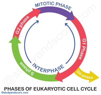 phases of eukaryotic cell cycle, G2 phase, S phase, G1 phase, G0 Phase, INterphase, Mitotic phase