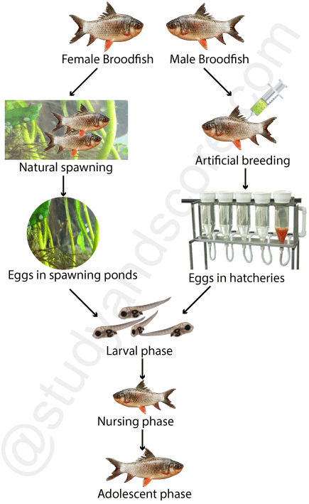 carp culture, natural spawning, broodfish, larval phase, nursing phase, adolescent phase