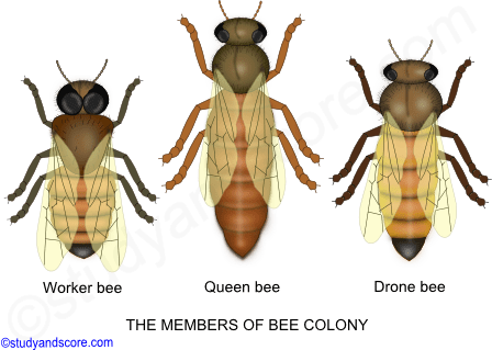 Bee colony, female bee, male bee, drone, honey production, members of bee colony