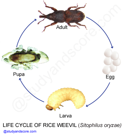 Rice weevil, sitophilus oryzae,life cycle of sitophillus