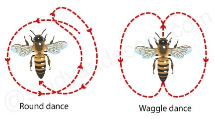 bee dance, round dance, waggle dance, honey bee