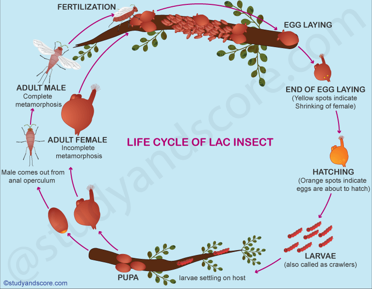 Lac culture, steps in lac culture, fertilization, egg laying, hatching, life cyle of lac insect, incomplete metamorphosis