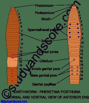 Earthworm: General characters, External morphology, Setae | Study&Score