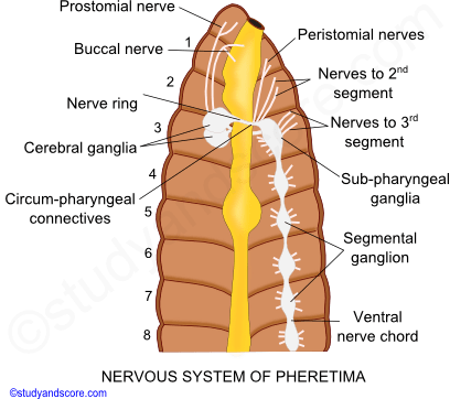Earthworm: Nervous system and Sense organs | Study&Score