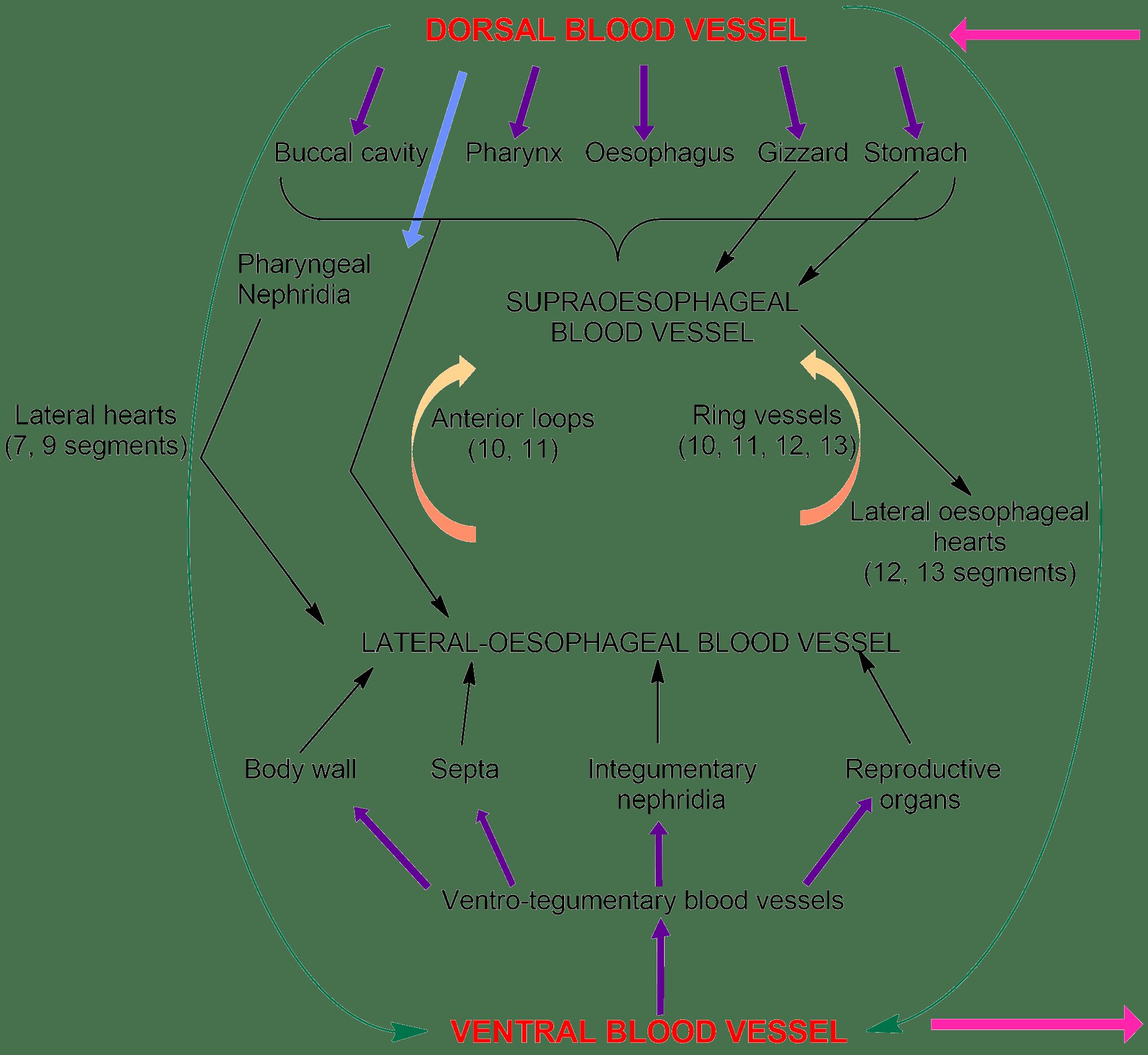 Earthworm: Circulatory system, Blood vessels & their arrangement ...