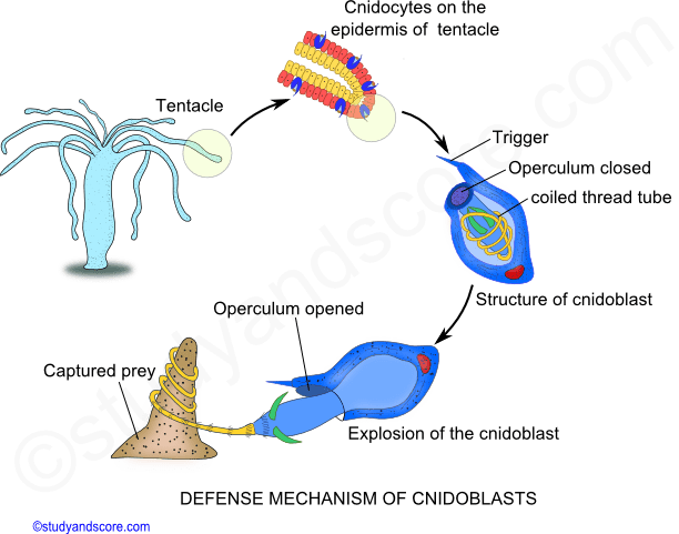 defense mechanism of cnidoblast cell, operculum, phylum cnidaria, defensive structure, nematocyst