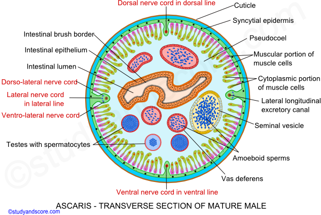 Ascaris male reproductive system female reproductive system ascaris transverse section of mature male ascaris male reproductive system ascaris reproductive system ccuart Image collections