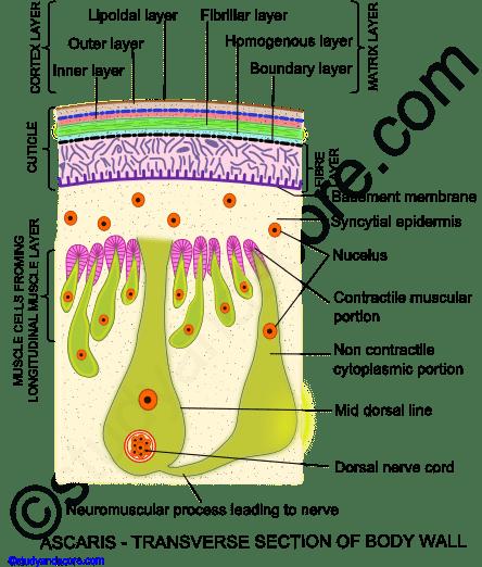 paraziták körféreg kezelés