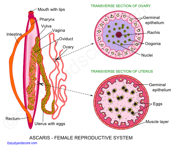 Ascaris male reproductive system female reproductive system ascaris reproductive system ascaris female reproductive system formation of gametes ovaries ovidust ccuart Image collections