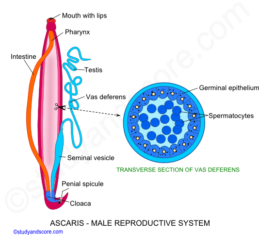 Ascaris: Male Reproductive System, Female Reproductive