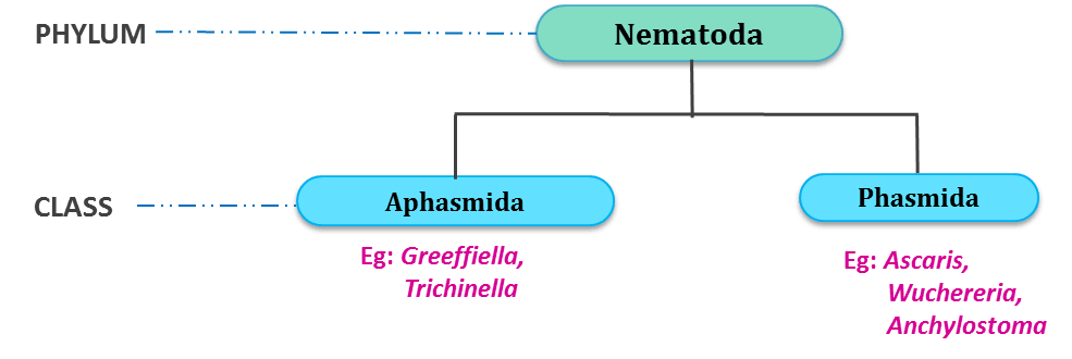 Phylum Nematoda/Aschelminthes/Nemathelminthes: General characters and Classification ...