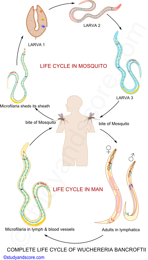 Filarial Worms Life Cycle Wuchereria: Gen...