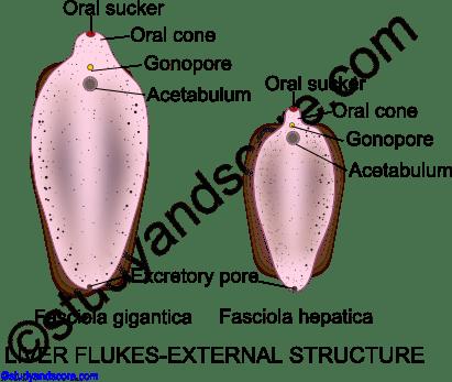 Platyhelminthes fasciola