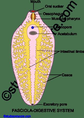 Fasciola  Body wall  Digestive  Excretory and Nervous