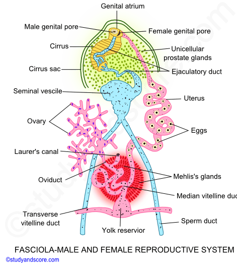 fasciola reproductive system life cycle in sheep and. Black Bedroom Furniture Sets. Home Design Ideas