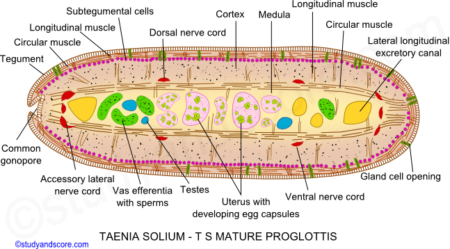 male and female reproductive system, taenia solium, mature proglottid, egg casules, common gonophore, ovary, ootype, vitelline glands,