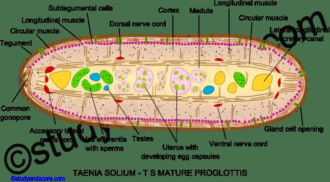 Taenia Reproductive System And Mature Proglottid Study Score
