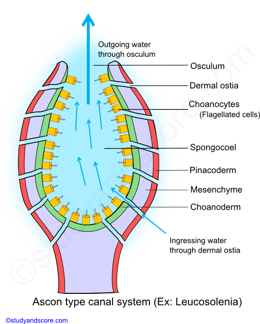 Phylum porifera canal system in sponges types of canal systems in asconoid canal system canal system in sponges ingressing water osculum ostia ccuart Choice Image