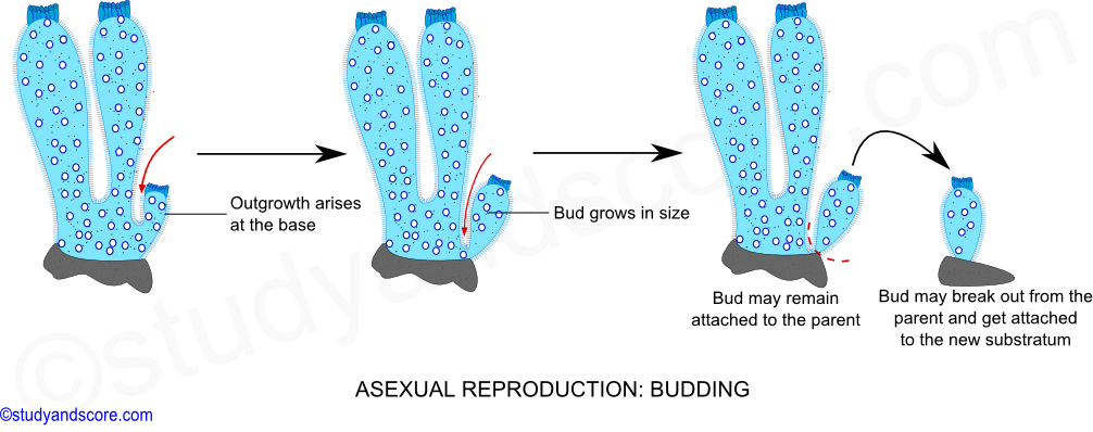 an analysis of the asexual reproduction Asexual reproduction is the most important means of fungal reproduction for plant pathogens, such as fusarium , asexual reproduction can greatly affect epidemic diseases, whereas sexual.