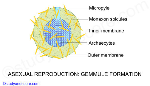 Gemmules asexual reproduction regeneration