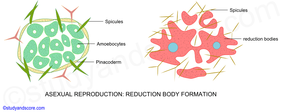 Types of sexual reproduction in sponges