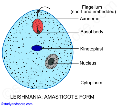 Asexual reproduction in leishmania