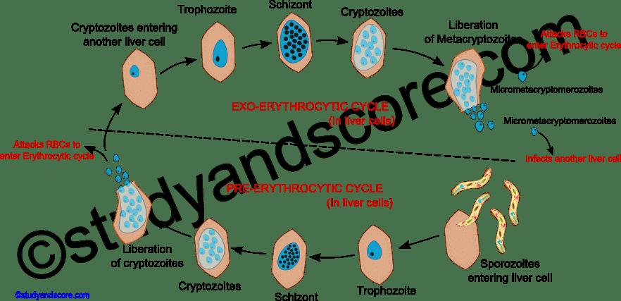 malarial worm, malaria worm, plasmodium life cycle in man, malaria