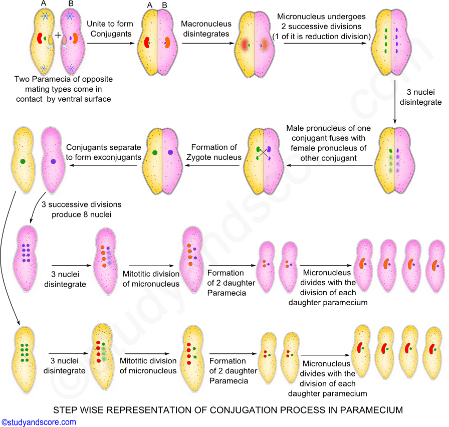 Paramecium asexual reproduction process