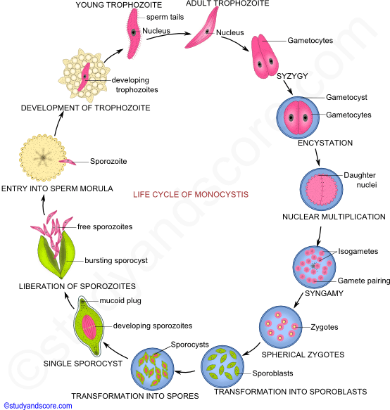 Monocystis: General Characters And Life Cycle