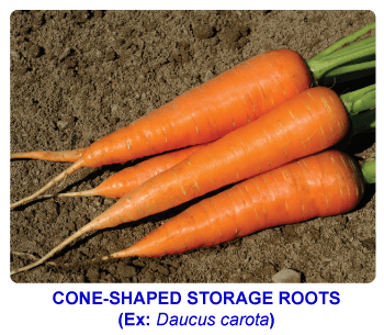 NCERT notes, free, CBSE notes, root, root system, Characteristics of root, functions of root, modifications of root, tap root system, fibrous root system