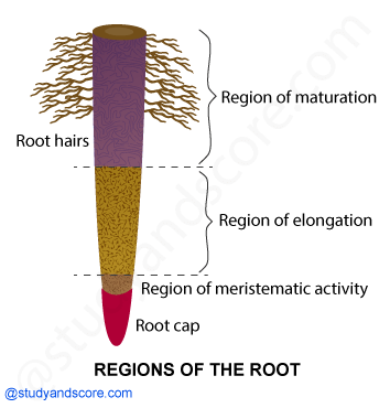 NCERT notes, free, CBSE notes, root, root system, charecteristics of root, functions of root, modifications of root, tp root system, fibrous root system