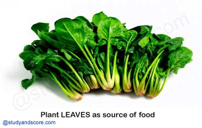 plants leaves as a source of food, Spinach, drum sticks, kale, spring onion