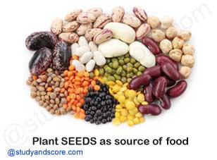 plants seeds as a source of food, Paddy, Corn, Wheat, Maize, pulses