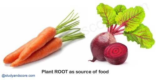 plants roots as a source of food, carrot, radish, beetroot turnip