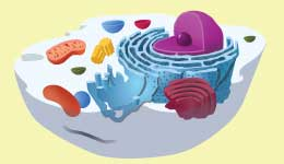 free notes on Cell biology, Prokaryotic cell, eukaryotic cell, cell organelles, chromosomes, chromatin, chromosome aberrations, operon, repetitive DNA